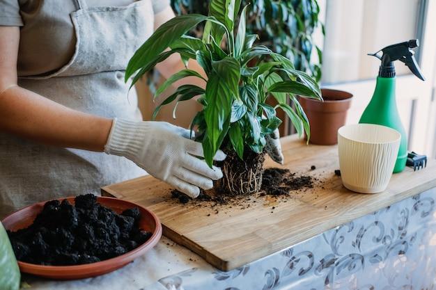 봄 여성을 위한 실내 식물을 깨우는 봄 관엽식물 관리가 식물을 새 화분에 이식하고 있다