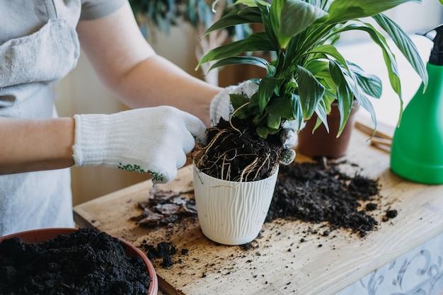 Весенний уход за комнатными растениями пробуждающие комнатные растения на весну женщина пересаживает растение в новый горшок