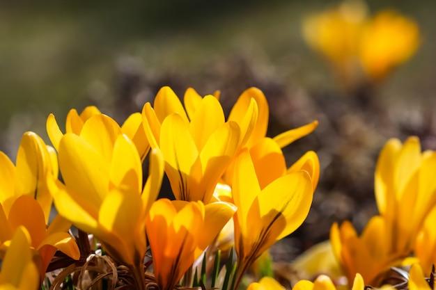 晴れた日に黄色いクロッカスの花が咲く庭の春
