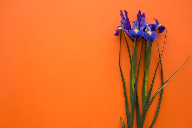 Fiori di iris di primavera su sfondo arancione
