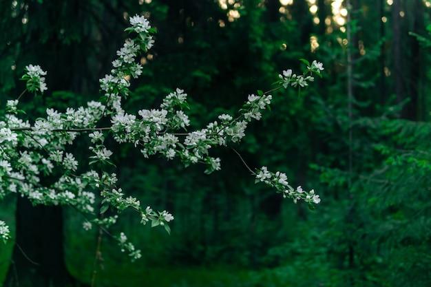 봄 풍경, 흐릿한 아침 숲의 배경에 꽃이 만발한 사과 나무 가지