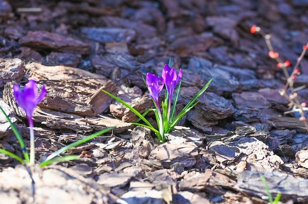 春の風景です。森の樹皮の中でクロッカスの花。咲くコンセプト