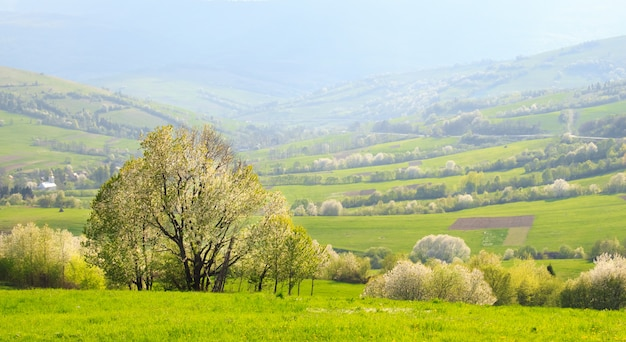 Spring landscape: flowering slopes of the carpathian mountains