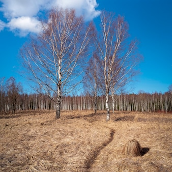 沼に小道と白樺の木がある春の風景。乾いた草とハンモックのある土地。