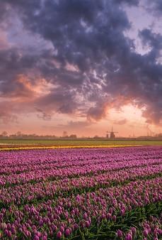 チューリップの豊かなフィールド、花の世界のカラフルな日の出のある春の風景
