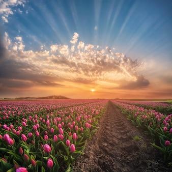 チューリップの芽のないフィールド、花の牧草地の日の出と春の風景