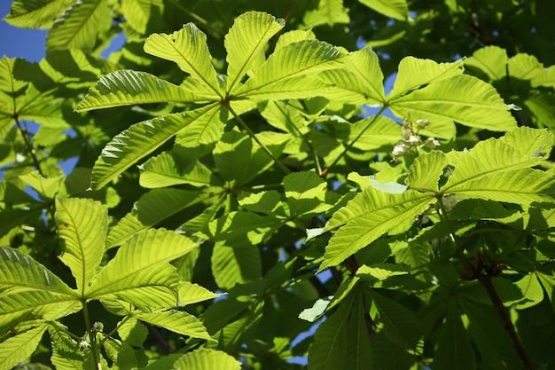 푸른 하늘 배경에 밤나무 aesculus hippocastanum의 봄 잎
