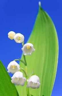 青空を背景にしたスズラン「convallariamajalis」の春のユリ