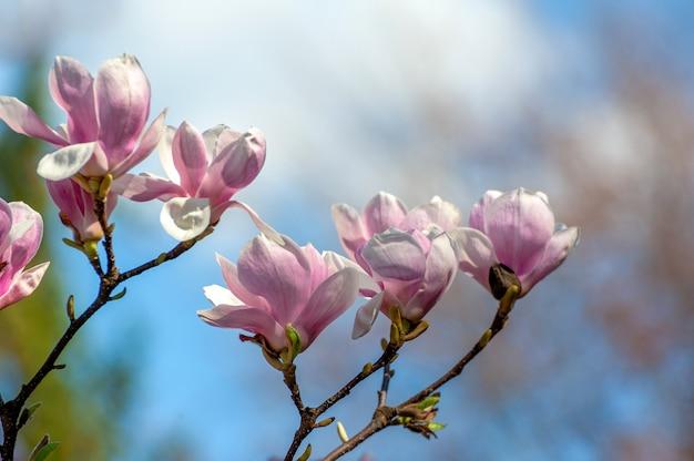 봄 목련 꽃, 자연 추상 부드러운 꽃 배경