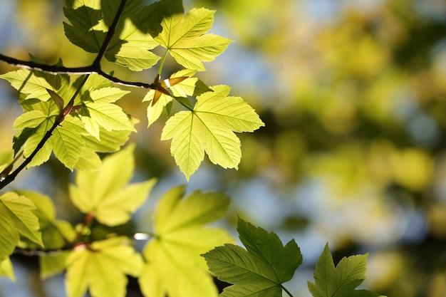 春のカエデの葉が森に