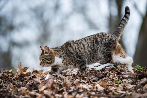 Весенний мартовский полосатый кот идет или ходит по сухим листьям. жизнь на природе.
