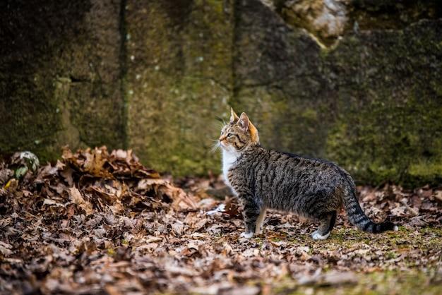 Весенний мартовский полосатый кот идет по сухим листьям Premium Фотографии