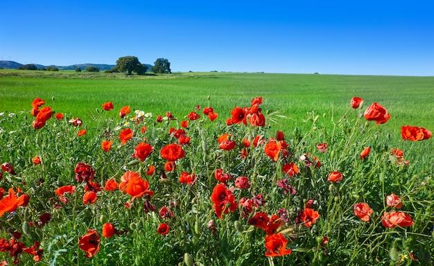 Spring meadow poppies camino de santiago