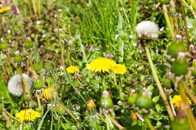 白と黄色のタンポポと春の牧草地
