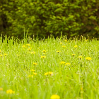 Весенние луга крупным планом: зеленая трава и одуванчики