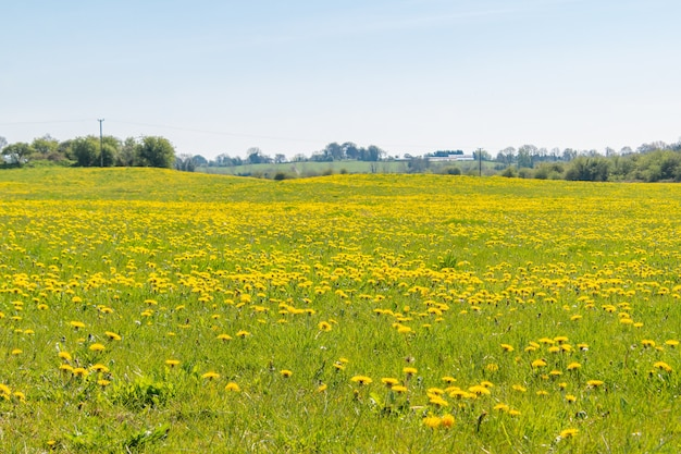 Spring medow full of dandelions flowers and blue sky , idial place for bees.