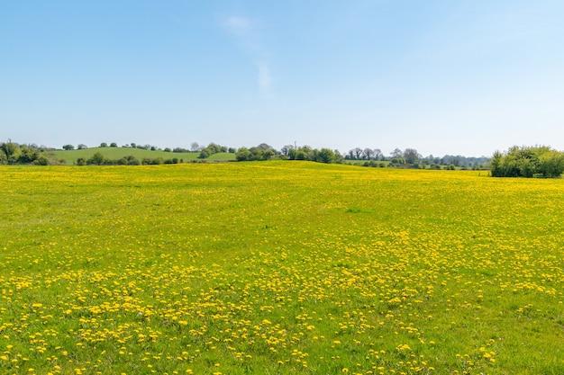 タンポポの花と青い空に満ちた春のメドウ、ミツバチの理想的な場所。