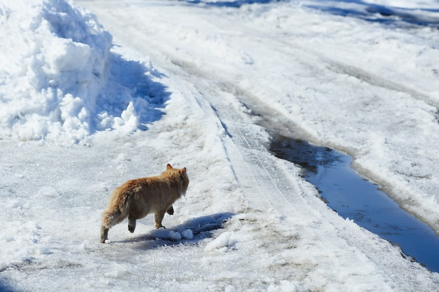 Spring melting snow, a ginger cat runs across the road with puddles and snow