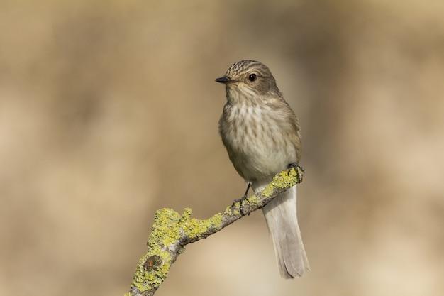 Весенний перелет мухоловка пятнистая muscicapa striata