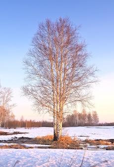 Весеннее утро в поле береза с голыми ветвями на заснеженном поле