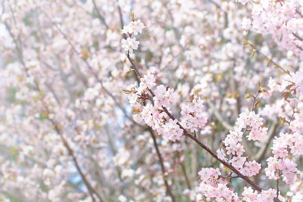 春の自然な背景。春の公園に咲く繊細な桜