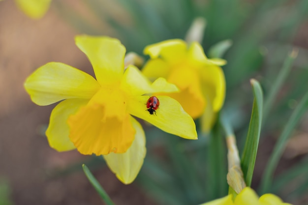 Spring nature background. narcissus.