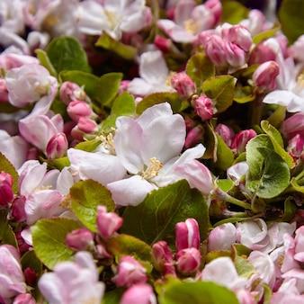 咲くリンゴの木の春のピンクと白の花