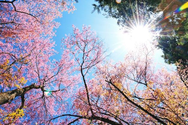 太陽の光線と青空の春のピンクの桜の木