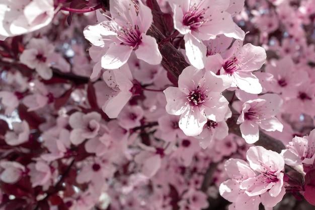 Весенний розовый цветок. миндальное дерево в цвету.