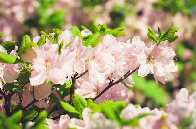 Весенние розовые цветы на кустах в парке