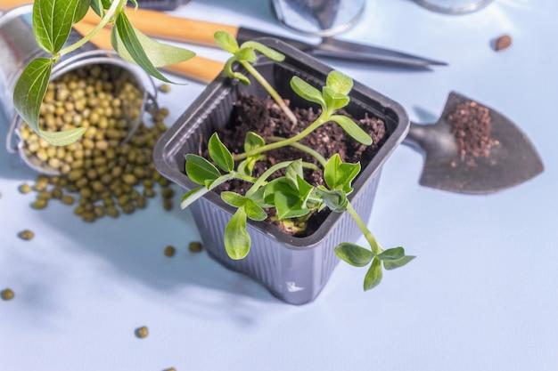 Концепция весенней посадки и садоводства. инструменты, вазоны, ведра, декор. свежие ростки сои, маша, арахиса, люпина. модный жесткий свет, темная тень на синем фоне, копия пространства