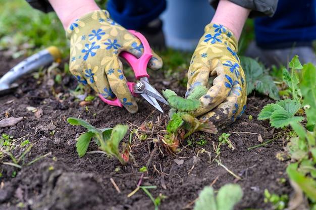 春の剪定とイチゴの茂みの除草。園芸用手袋で女性の手が雑草を除草し、はさみでイチゴの葉を剪定します。 Premium写真