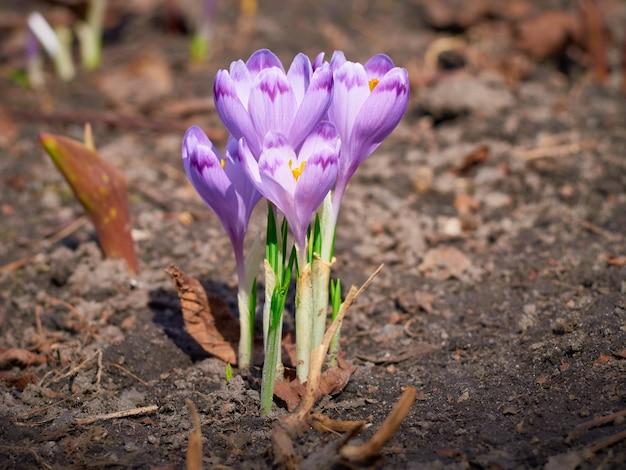 庭には春紫のクロッカスが咲いています。