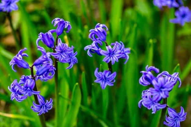 Весенние фиолетовые цветы на зеленом фоне. гиацинты крупным планом, текстуры.