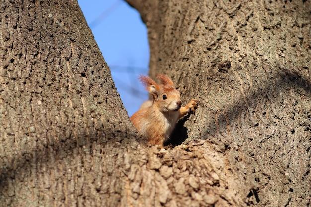 나무에 봄 붉은 다람쥐