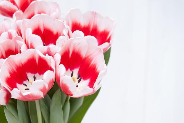 春の赤白のチューリップの花のバナー。白い背景の上の美しい、新鮮なブゲ。テキストのスペースをコピーします。