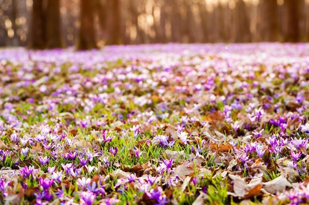 공원에서 봄 사프란과 잔디 카펫입니다. 영감을 주는 아름다운 자연 꽃. 틸트 시프트 버전