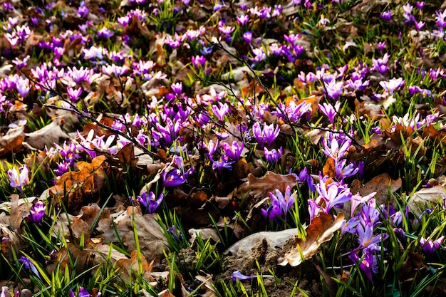 Spring saffron and grass carpet in the park. beautiful nature flowers for inspiration. tilt-shift version
