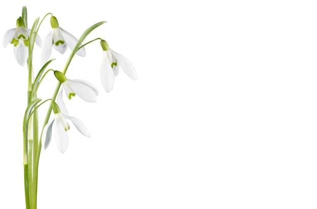 白で隔離の春のスノードロップの花コーナーセット