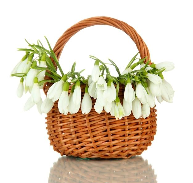 白の籐のバスケットの春の雪滴の花