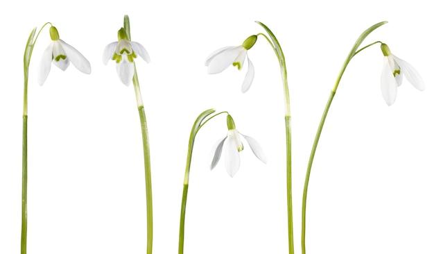 白で隔離される春のスノードロップの花セット
