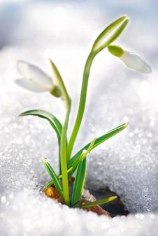 森の中の雪と春の雪滴の花