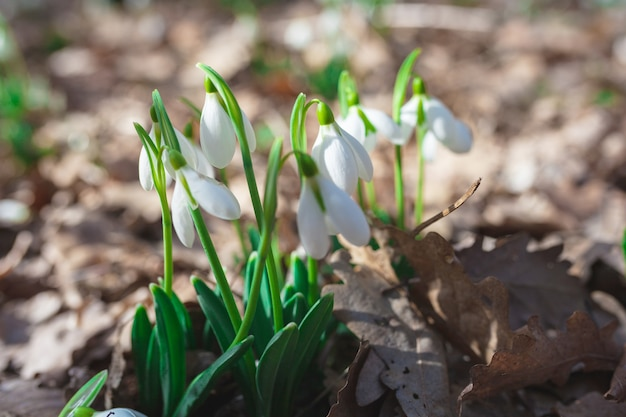 森には春のスノードロップが生えています。春の美しい布告者