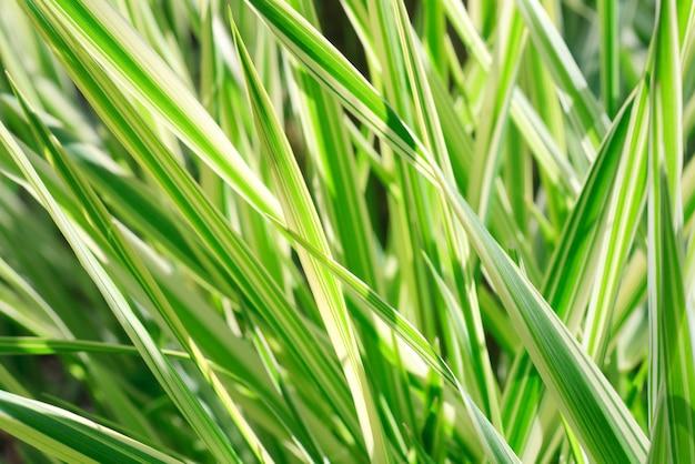 春の縞模様の緑の草「スゲ」(自然の背景)