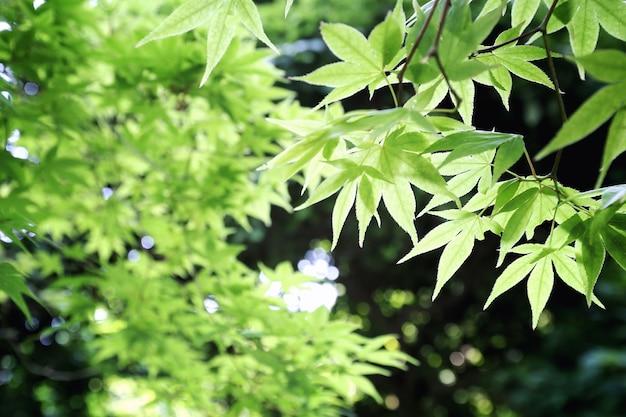 봄 설탕 녹색 단풍 잎 배경