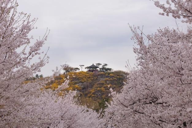 Время весны и цветение сакуры весной в сеуле южная корея