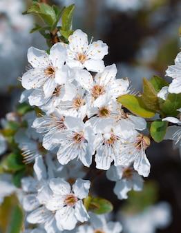 봄 시간. 흰색 꽃이 만발한 나무 브런치.