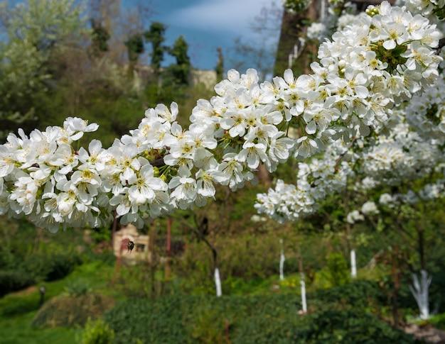 봄 시간입니다. 흰 꽃이 만발한 나무 브런치.