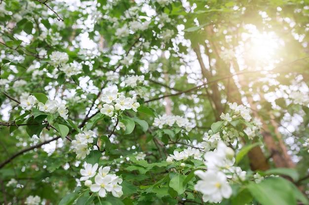 Весной яблоня цветет при солнечном свете.