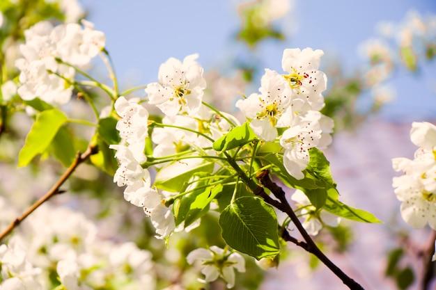 春の木、枝に白い花、桜の開花時期、自然の背景